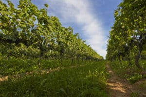 , Des Québécois à l'assaut des vignes de l'Ontario