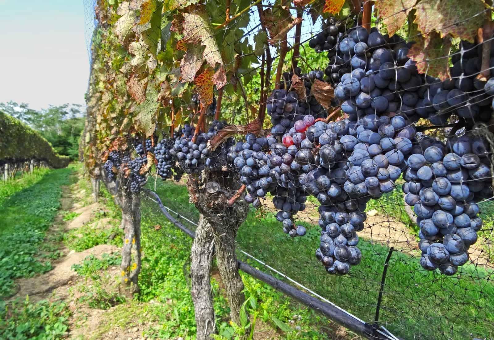 , Faut-il arrêter l'irrigation des vignes ?