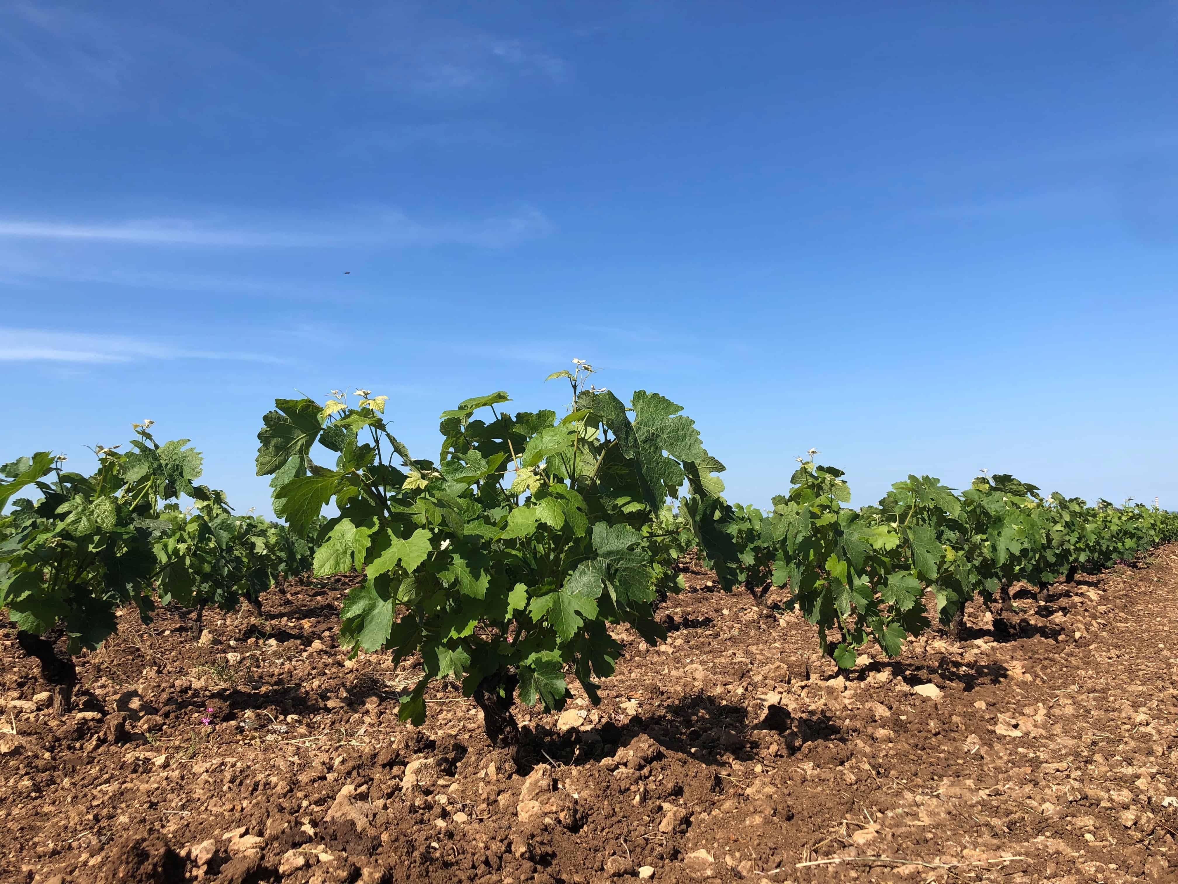 , The Great Dane and his Improbable Vineyard