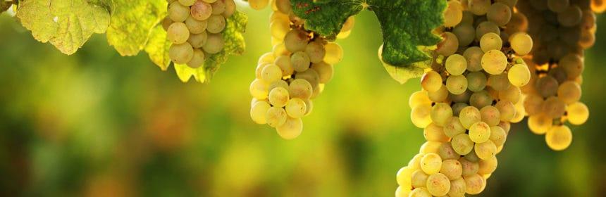 , Variations sur le chardonnay
