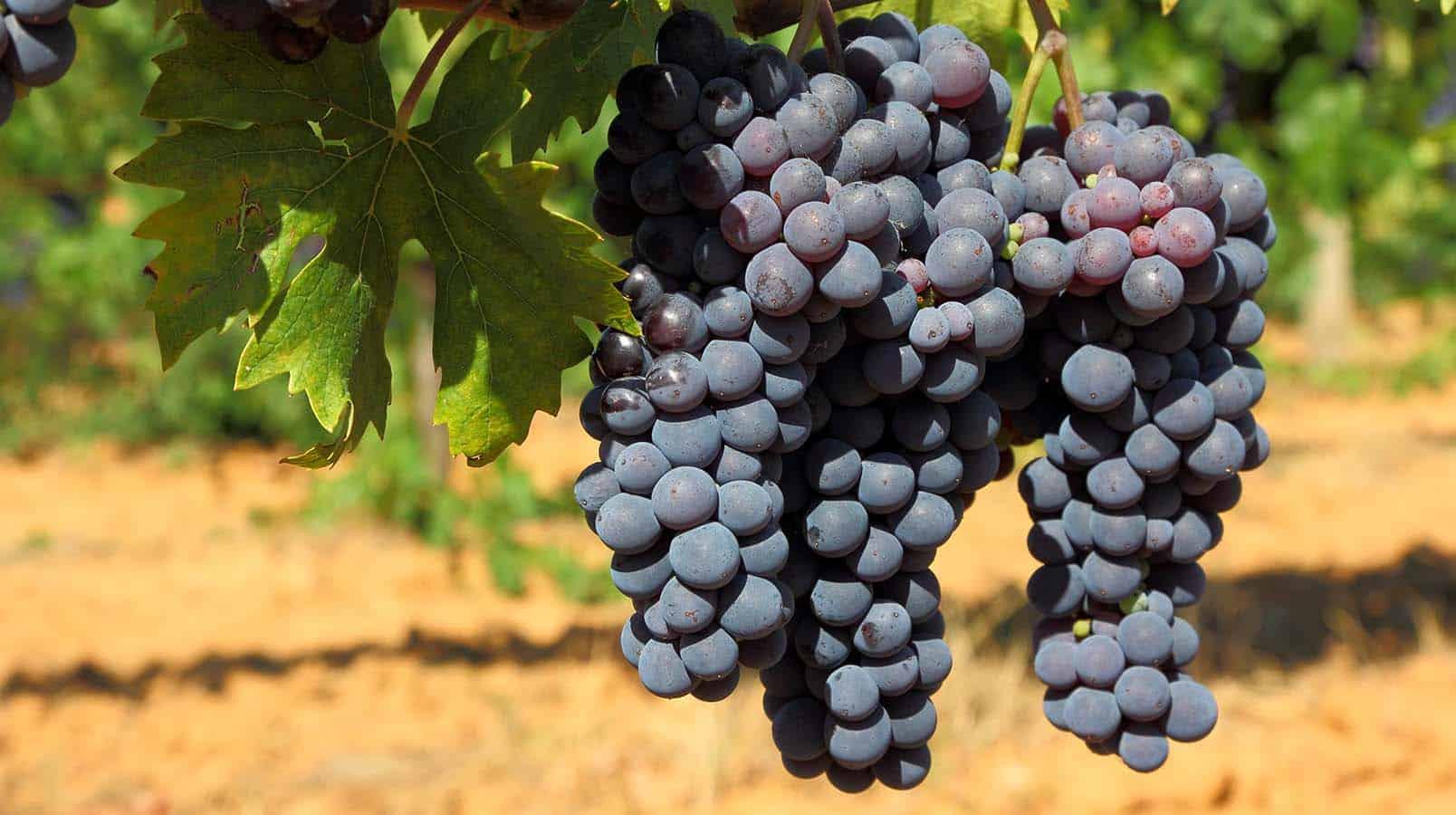 Le Frappato, cépage de la Sicile - Tout sur le Vin