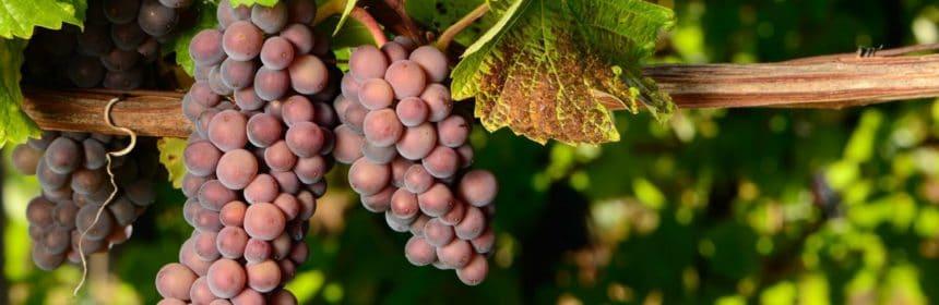 pinot grigio tout sur le vin