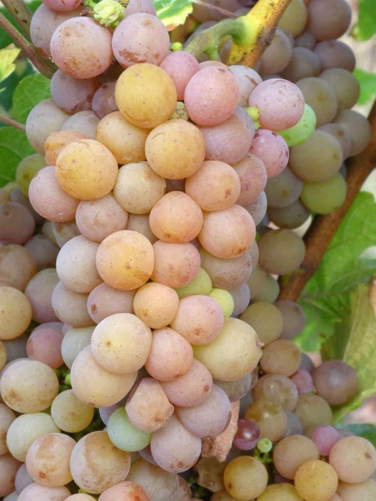 Pinot gris - Tout sur le Vin