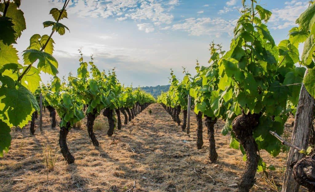 Les vignes dans le Beaujolais - Tout sur le Vin
