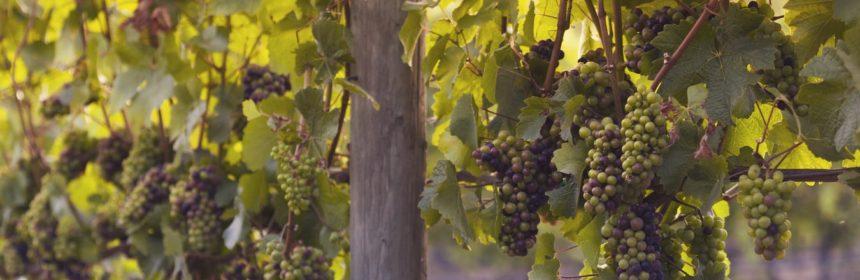 Trois pinot noirs à savourer - Tout sur le Vin