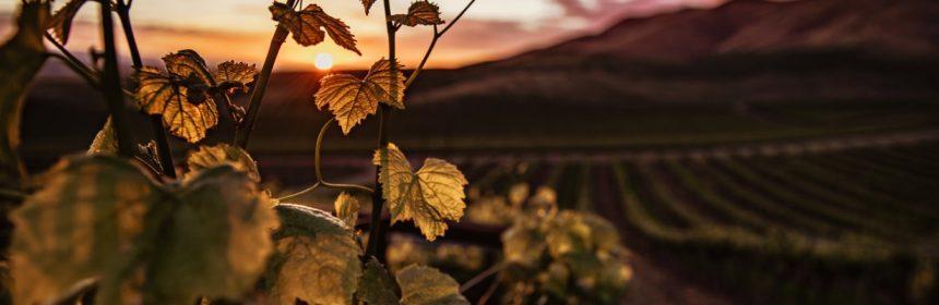 Trois vins blancs du pays