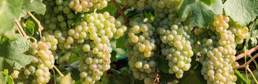 Chenin Blanc - Tout sur le Vin